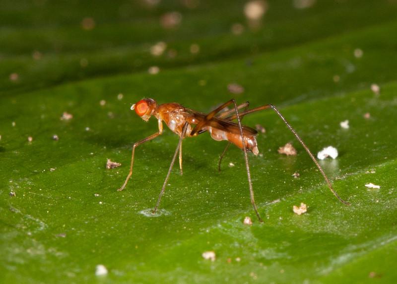 Costa Rica 2013: Dominical - 227 Stilt-legged Fly (Micropezidze)