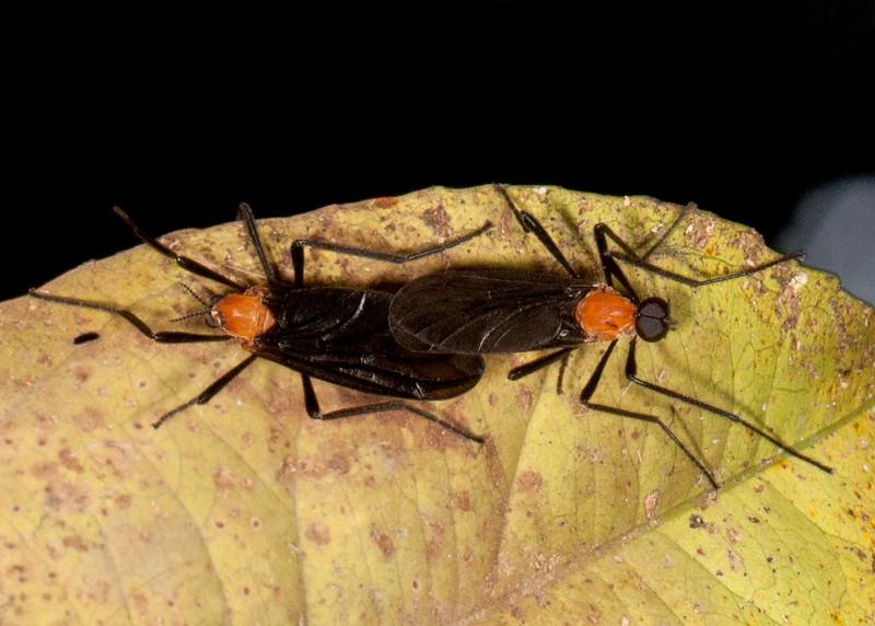 Peru 2014: Tamshiyacu-Tahuayo Reserve - March Flies (Bibionidae: Bibioninae: possibly Plecia sp.)
