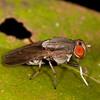 Peru 2014: Tamshiyacu-Tahuayo Reserve - Lauxaniid Fly (Diptera: Lauxaniidae: Lauxaniinae: possibly Minettia sp.)