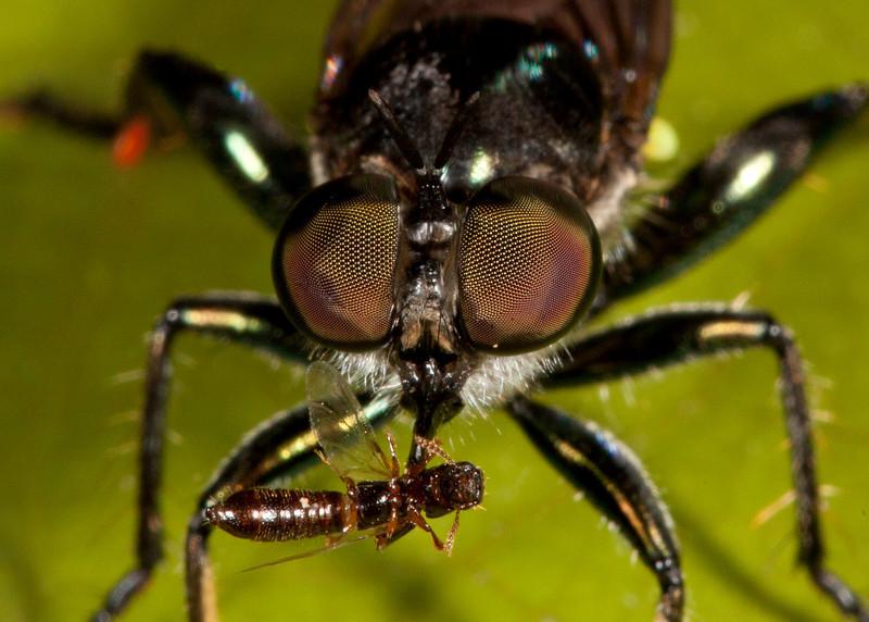 Costa Rica 2013: Dominical - 335 Robber Fly (Asilidae: Laphriinae: Laphriini: probably Laphria sp.)