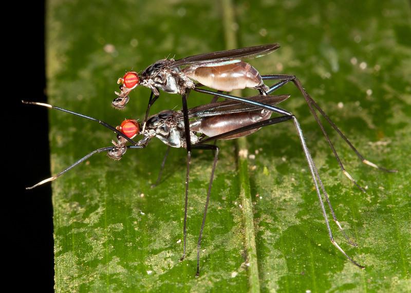 Costa Rica 2013: Dominical - 266 Stilt-legged Fly (Micropezidae: Taeniapterinae: possibly Pseudeurybata sp.)