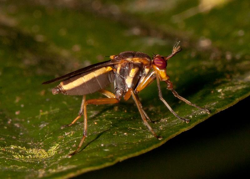 Peru 2014: Tamshiyacu-Tahuayo Reserve - Marsh Fly or Snail-killing Fly (Sciomyzidae: Sciomyzinae: Thecomyia sp.)