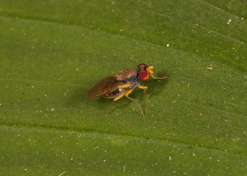 Belize 2017: Hickatee Cottages - Unidentified fly (Diptera)