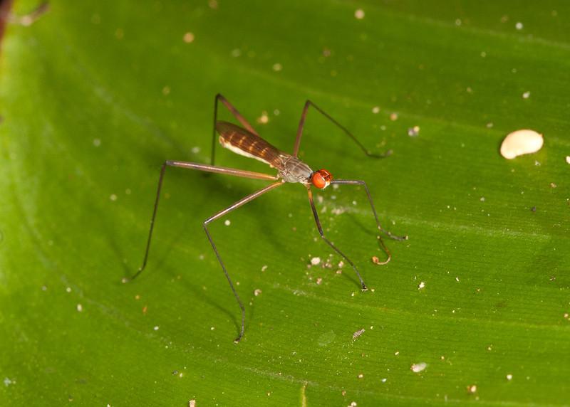 Costa Rica 2013: Uvita - 200 Stilt-legged Fly (Micropezidae: Micropezinae: possibly Micropeza sp.)