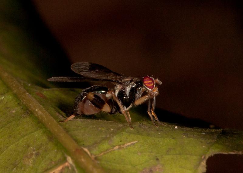 Peru 2014: Tamshiyacu-Tahuayo Reserve - Richardiid Fly (Richardiidae: Richardiinae: Richardia sp.)