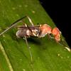 Belize 2017: Cotton Tree Lodge - Stilt-legged Fly (Micropezidae)