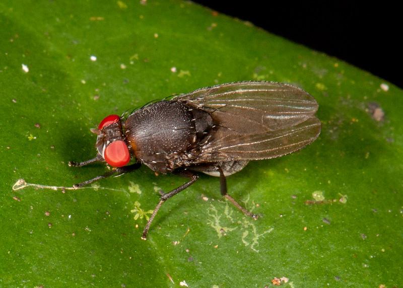Peru 2014: Tamshiyacu-Tahuayo Reserve -  Fly (possibly Lauxaniidae)