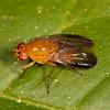 Peru 2014: Tamshiyacu-Tahuayo Reserve - Lauxaniid Fly (Lauxaniidae: possibly Allominettia maculatifrons)