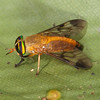 Belize 2017: Hickatee Cottages - Doctor Fly (Tabanidae: Tabaninae: Diachlorini: Diachlorus ferrugatus); also known as Yellow Fly