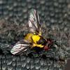Peru 2014: Tamshiyacu-Tahuayo Reserve - Probably a Leaf-miner Fly (Agromyzidae)