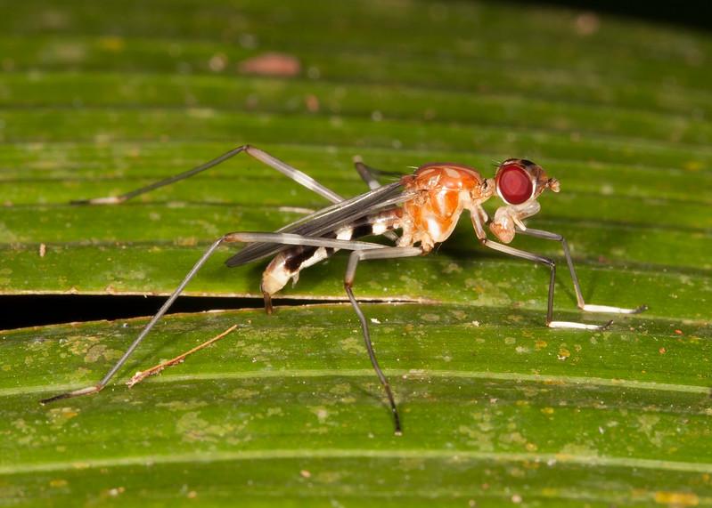 Belize 2017: Hickatee Cottages - Stilt-legged Fly (Micropezidae: Taeniapterinae: Ptilosphen sp.)