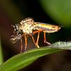 Ecuador 2012: Mindo - Robber Fly (Asilidae)