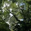 Costa Rica 2010: Arenal - Ceiba tree (Bombacaceae: Ceiba pentandra); aka Kapok or Broccoli Tree
