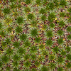 Ecuador 2012: Otavalo - Cushion Plant (Plantaginaceae :Plantago rigida) at Lagunas de Mojanda