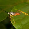Peru 2012: Rio Madre de Dios - 163 Passionfruit Bug or Leatherbug (Coreidae: Coreinae: Anisoscelini: Holhymenia sp. probably H. histrio)