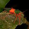 Peru 2012: Rio Madre de Dios - 196 Coreid bug (Coreidae: Coreinae: Paryphes sp.; probably P. egregius)