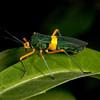 Costa Rica 2013: Uvita - 176 Leaf-footed bug (Coreidae: Coreinae: Paryphes sp.; probably P. flavocinctus)