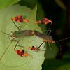 Peru 2012: Rio Madre de Dios - 175 Banner or Leaf-footed Bugs mating (Coreidae: Coreinae: Anisoscelini: Anisoscelis foliacea)