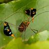 Peru 2012: Rio Madre de Dios - 187 Banner or Leaf-footed Bug (Coreidae: Coreinae: Anisoscelini: Diactor bilineatus)