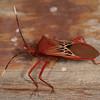 Peru 2012: Rio Madre de Dios - 128 Coreid Bug (Coreidae: Coreinae: Anisoscelini: Leptoscelis pallida)