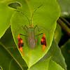 Peru 2012: Rio Madre de Dios - 180 Banner or Leaf-footed Bug (Coreidae: Coreinae: Anisoscelini: Anisoscelis foliacea)