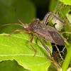 Costa Rica 2013: Dominical - 410 Leaf-footed Bug (Coreidae Coreinae Acanthocephalini Acanthocephala sp. probably A. bicoloripes possibly A. femorata)