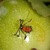 Peru 2012: Rio Madre de Dios - 189 Banner or Leaf-footed Bug nymph (Coreidae: Coreinae: Anisoscelini: Diactor bilineatus)