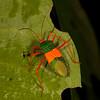 Peru 2012: Rio Madre de Dios - 199 Coreid bug (Coreidae: Coreinae: Paryphes sp.; probably P. egregius)