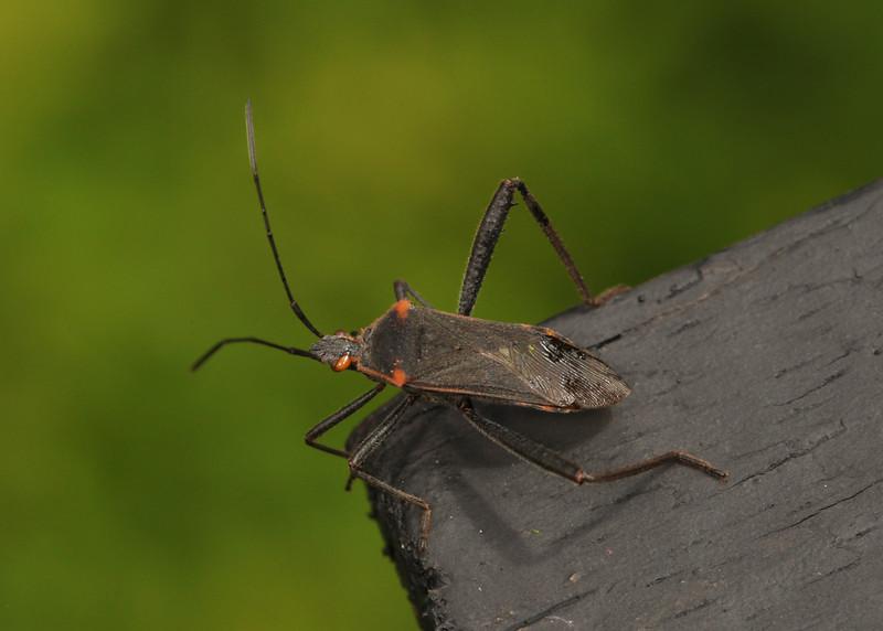 Ecuador 2012: Sacha Lodge - Coreid Bug (Coreidae: Coreinae: Anisoscelini: Phthiacnemia picta). Identification by Dr. Harry Brailovsky Alperovits