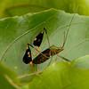 Peru 2012: Rio Madre de Dios - 186 Banner or Leaf-footed Bug (Coreidae: Coreinae: Anisoscelini: Diactor bilineatus)