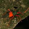 Peru 2012: Rio Madre de Dios - 0.30 Coreid bug (Coreidae: Coreinae: Paryphes sp.; probably P. egregius)