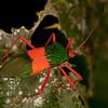 Peru 2012: Rio Madre de Dios - 197 Coreid bug (Coreidae: Coreinae: Paryphes sp.; probably P. egregius)