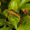 Peru 2012: Rio Madre de Dios - 188 Banner or Leaf-footed Bug (Coreidae: Coreinae: Anisoscelini: Anisoscelis foliacea)