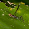 Costa Rica 2013: Dominical - 141 Crown-of-thorns Wasp (Stephanidae) male