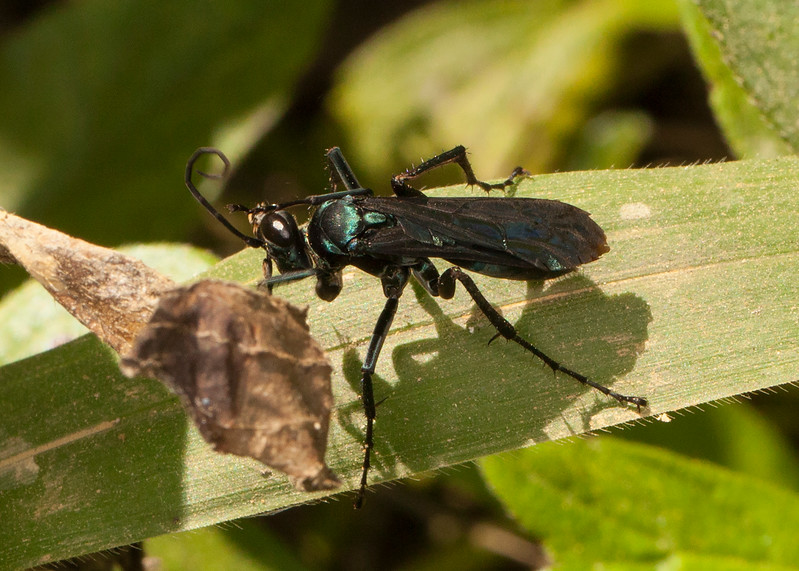 Belize 2017: Hickatee Cottages - Spider Wasp (Pompilidae)