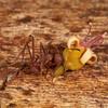 Costa Rica 2013: Uvita - 419 Leaf-cutter Ant (Formicidae: Mirmicinae: Attini: Atta sp.; probably A. colombica)