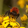 Ecuador 2012: Otavalo - Bumblebee (Apidae: Bombus sp.; probably B. rubicundus) at Laguna Cuicocha