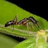 Peru 2012: Rio Madre de Dios - 049 Trap Jaw Ant (Formicidae: Ponerinae: Odontomachus sp.)