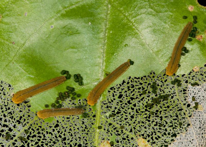 Peru 2012: Rio Madre de Dios - 061 Probably Sawfly Larvae (Tenthredinidae)