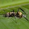 Costa Rica 2013: Uvita - 256 Golden Carpenter Ant (Formicidae: Formicinae: Camponotini: Camponotus sericeiventris)