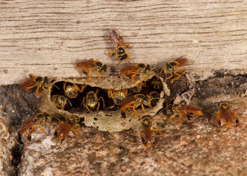 Belize 2017: Hickatee Cottages - Stingless bees (Apidae: Meliponinae: Meliponini: probably Tetragona sp. or Tetragonisca sp.)