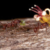 Costa Rica 2013: Uvita - 417 Leaf-cutter Ants (Formicidae: Mirmicinae: Attini: Atta sp.; probably A. colombica)