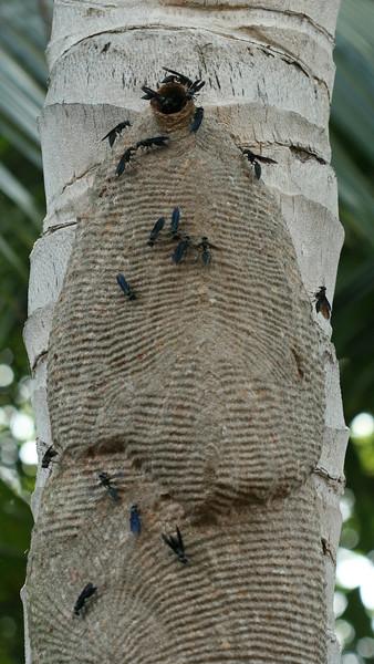 Costa Rica 2010: Osa - Warrior Wasps; aka Armadillo or Drumming Wasps (Vespidae: Polistinae: Synoeca septentrionalis)