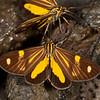 Peru 2012: Rio Madre de Dios - 033 Dioptine moths on some fresh dung (Notodontidae: Dioptinae: Dioptini: Phaeochlaena near lampra)