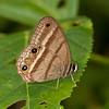 Peru 2012: Rio Madre de Dios - 065 Probably a Weymer's Ringlet (Nymphalidae: Satyrinae: Satyrini: Cissia proba) possibly C. terrestris