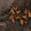 Peru 2012: Rio Madre de Dios - 027 Dioptine moths sharing some fresh dung (Notodontidae: Dioptinae: Dioptini: Phaeochlaena near lampra)