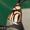 Peru 2012: Rio Madre de Dios - 156 Clio Crescent (Nymphalidae: Nymphalinae: Melitaeini: Eresia clio clio)