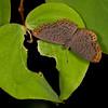 Peru 2012: Rio Madre de Dios - 080 Lucius Metalmark (Riodinidae: Riodininae: Riodinini Metacharis lucius)