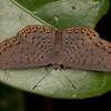 Peru 2012: Rio Madre de Dios - 083 Lucius Metalmark (Riodinidae: Riodininae: Riodinini Metacharis lucius)
