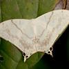 Peru 2012: Rio Madre de Dios - 064 Geometrid Moth (Geometridae: Oxyteninae: Asthenia lactucina)